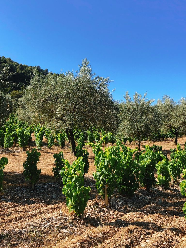 olives-vignes-rasteau